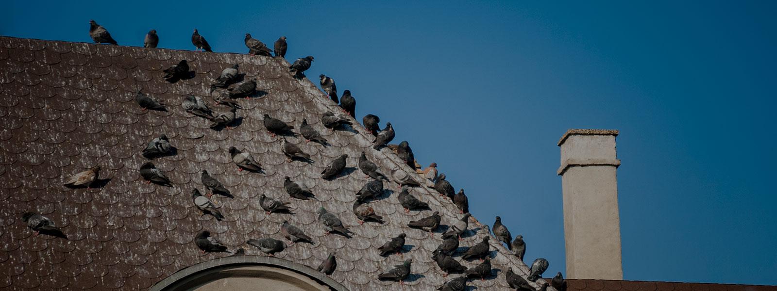 Birds On Roof